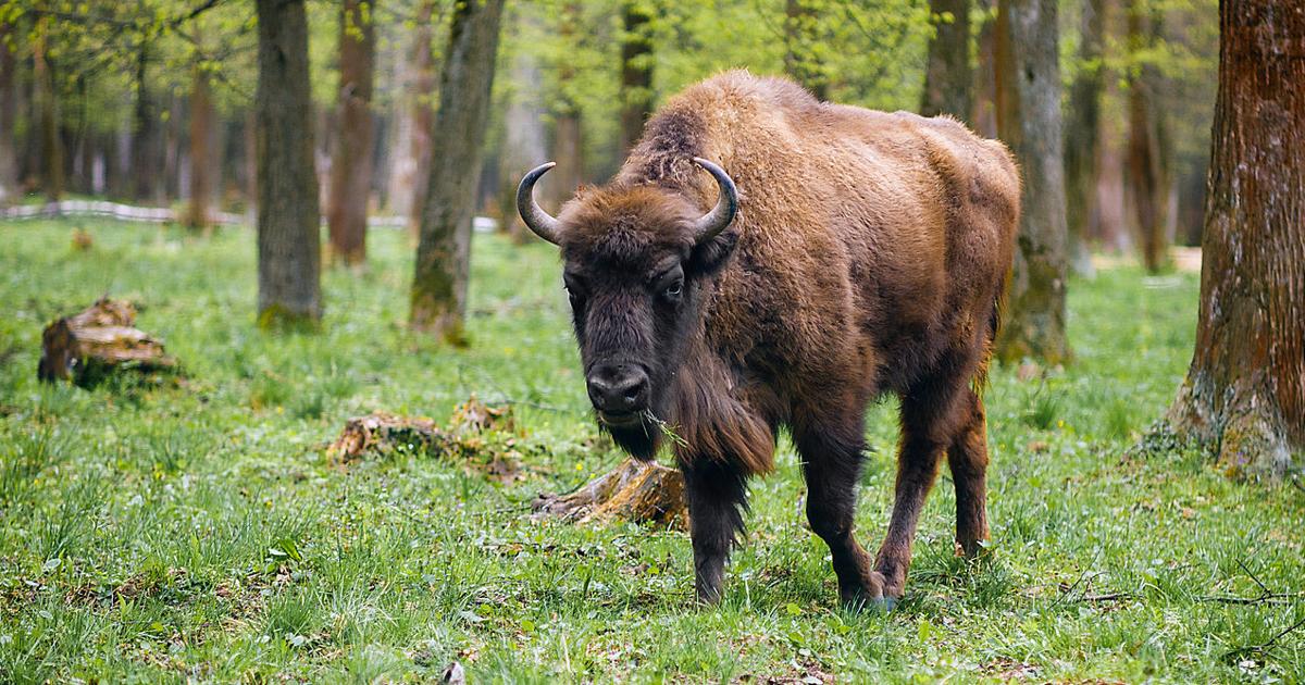 Зубр оказался самым дорогим животным по ОСАГО - автоновости